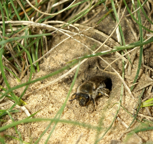 Bee exiting a burrow. Photo by Rob Cruikshank, CC https://www.flickr.com/photos/84221353@N00/5713786629/