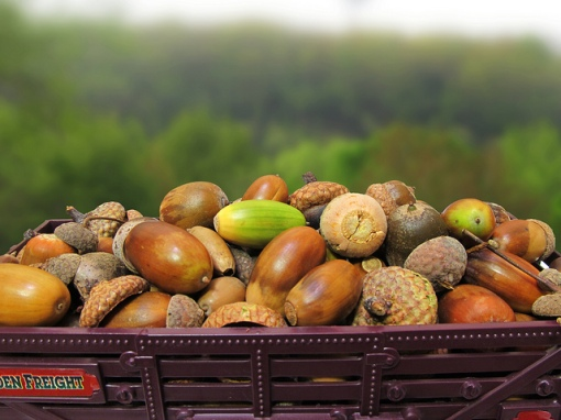 8 things you didn't know about acorns
