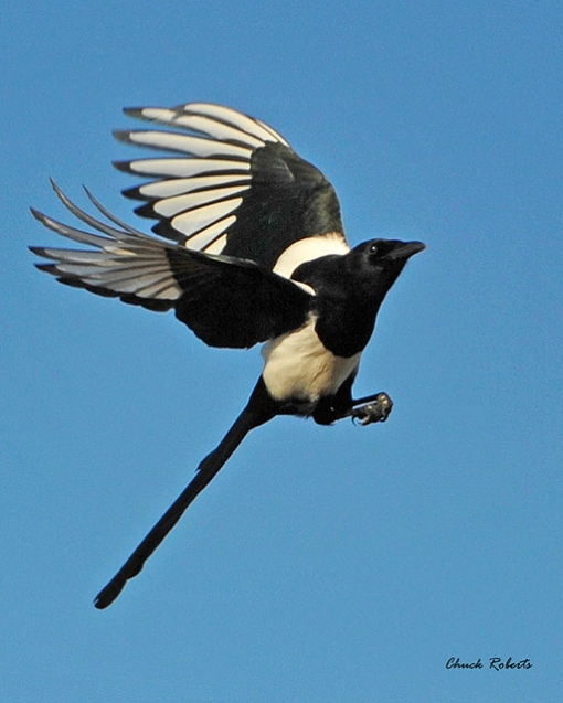 Magpies use their long tails like a rudder. Photo by Chuck Roberts. Black-billed Magpie. CC. https://flic.kr/p/aYnX7x