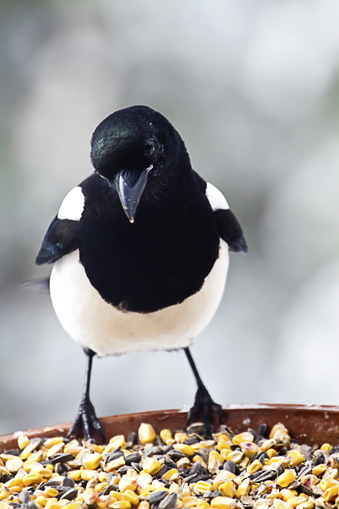Photo by Rhonda. There's more to this noisy scavenger than meets the eye. Black-billed Magpie. CC. https://flic.kr/p/dB4gav