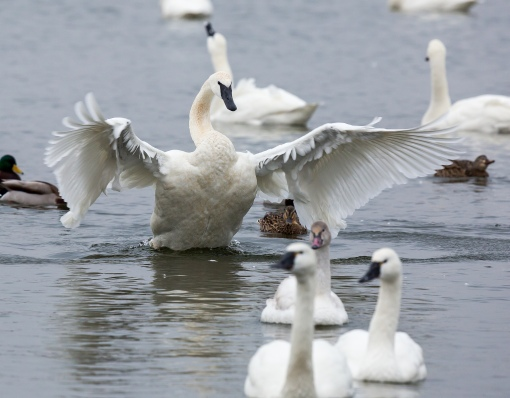 Trumpeter swans are the heaviest bird in North America. Photo by Emily Carter Mitchell. Trumpeter Swan. CC. https://flic.kr/p/qD9eKK