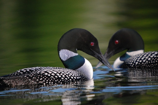 Common loons are voracious predators as well as being beautiful singers. Photo by Gary J. Wege,USFWSmidwest.Common Loons. CC. https://flic.kr/p/7SVDNK
