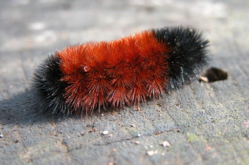 Photo by D.Fletcher. Wooly Bear. CC. https://flic.kr/p/sjk7A